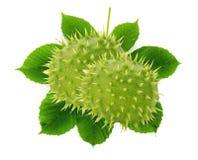 Groene kastanjes met bladeren die op de witte achtergrond worden geïsoleerd Royalty-vrije Stock Foto