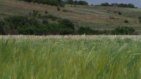 Groene kegels van tarwe stock video