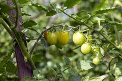 Groene kersentomaten in de tuin royalty-vrije stock afbeelding