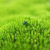 Groene kever Stock Afbeeldingen