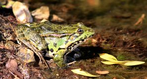 Groene kikker royalty-vrije stock fotografie