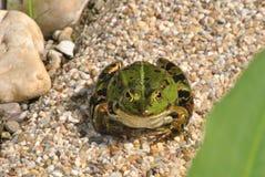 Groene kikker royalty-vrije stock foto