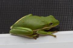 Groene kikker Stock Foto
