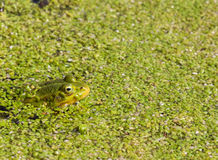 Groene Kikker amid Eendekroos Stock Foto's