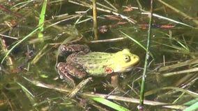 Groene kikker die in de lentemeer krassen stock video