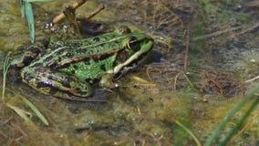 Groene kikker in het moeras stock video