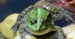 Groene kikker in het water stock video