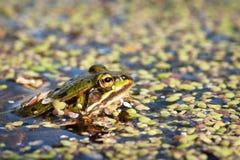 Groene kikker in het water Stock Foto's