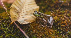 Groene Kikker Lithobates clamitans in Zijn Natuurlijke Habitat stock afbeelding