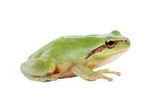 Groene kikker met doende zwellen gouden ogen Royalty-vrije Stock Foto