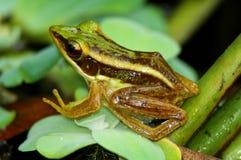Groene kikker op blad Royalty-vrije Stock Afbeeldingen