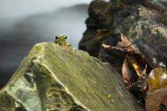 Groene kikker op de rots stock foto