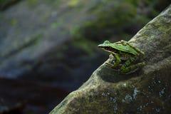 Groene kikker op de rots stock afbeelding