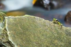 Groene kikker op de rots royalty-vrije stock afbeelding