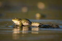 Groene kikker op een mooi licht Stock Foto