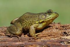 Groene Kikker (Rana clamitans) op een logboek Royalty-vrije Stock Foto's