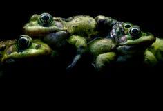 Groene kikkers op zwarte Stock Foto
