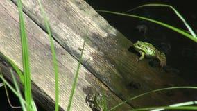 Groene kikkers in vijver op houten plank stock videobeelden