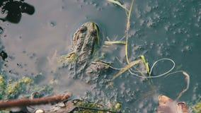 Groene Kikkerzitting in de Rivier dichtbij de Lelies stock footage