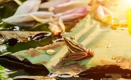 Groene kikkerzitting op lotusbloemblad in een vijver bij zonsondergang Royalty-vrije Stock Afbeeldingen