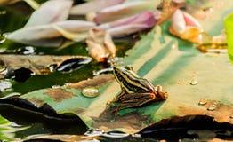 Groene kikkerzitting op lotusbloemblad in een vijver bij zonsondergang Stock Foto