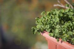 Groene klavers in een pot op een zonnige dag Stock Afbeelding