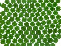 Groene klavers op een witte achtergrond Stock Foto