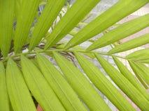 Groene kleurenbladeren van Areca Palminstallatie Stock Afbeelding