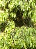 Groene kleurenbladeren van Ashoka-boom Royalty-vrije Stock Fotografie