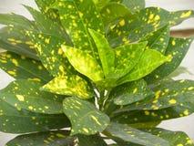 Groene kleurenbladeren van Croton-installatie met gele vlekken Stock Afbeeldingen