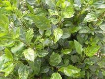 Groene kleurenbladeren van Hibiscusinstallatie Royalty-vrije Stock Afbeelding