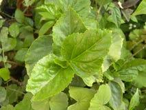 Groene kleurenbladeren van Hibiscusinstallatie Royalty-vrije Stock Fotografie