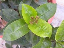 Groene kleurenbladeren van Ixora-coccineainstallatie Stock Fotografie