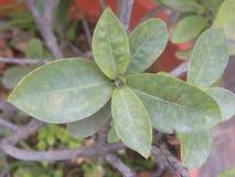 Groene kleurenbladeren van Ixora-coccineainstallatie Royalty-vrije Stock Afbeelding