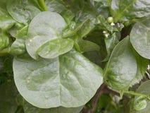 Groene kleurenbladeren van Malabar-Spinazieinstallatie Stock Afbeelding
