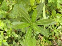 Groene kleurenbladeren van Nerium-oleanderinstallatie Stock Foto