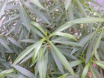 Groene kleurenbladeren van Nerium-oleanderinstallatie Royalty-vrije Stock Afbeelding