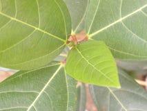 Groene kleurenbladeren van Okkernootboom Royalty-vrije Stock Foto's