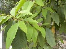 Groene kleurenbladeren van sapotilleboom Royalty-vrije Stock Fotografie