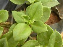 Groene kleurenbladeren van succulente houseplant Royalty-vrije Stock Foto's