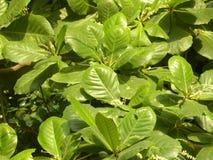 Groene kleurenbladeren van Tropische Amandelboom Royalty-vrije Stock Fotografie