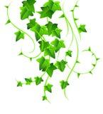 Groene klimop royalty-vrije illustratie