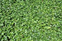 Groene klimop Stock Afbeeldingen
