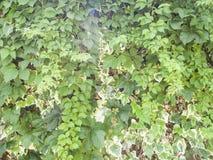Groene klimop behandelde muur Stock Foto