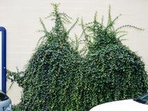 Groene klimop op beige muur royalty-vrije stock foto's