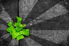Groene klimop op de achtergrond van de grungesteen Stock Afbeelding
