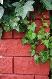 Groene klimop op een bakstenen muurachtergrond Stock Afbeelding