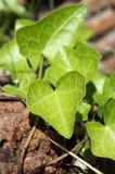 Groene klimopbladeren Stock Fotografie