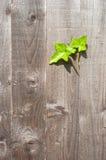 Groene klimopbladeren die van een houten tuinomheining groeien royalty-vrije stock foto
