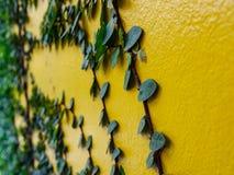 Groene klimopbladeren op gele muur Royalty-vrije Stock Afbeelding